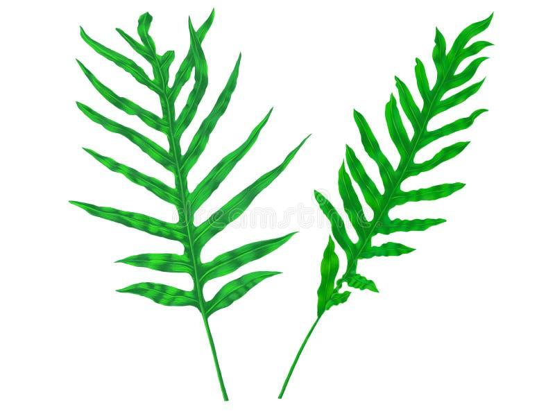 Hojas tropicales del helecho verde aisladas en el fondo blanco, ejemplo digital botánico fotos de archivo