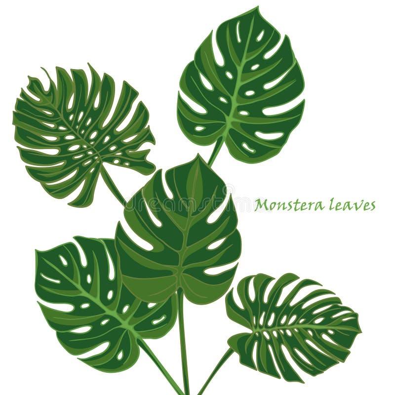 Hojas tropicales determinadas del monstera dibujo realista en estilo del vintage foto de archivo libre de regalías