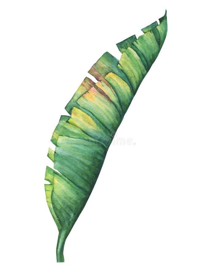 Hojas tropicales exóticas del plátano libre illustration