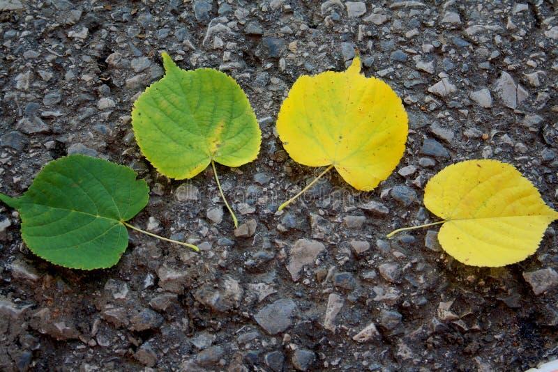 Hojas verde-amarillas de la hoja del arce del tilo en otoño fotos de archivo libres de regalías