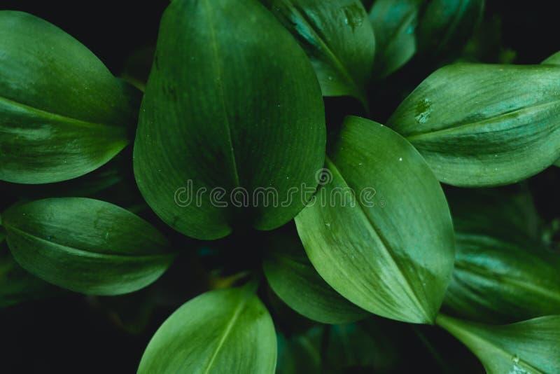 Hojas verde oscuro del fondo oscuro del follaje imagen de archivo