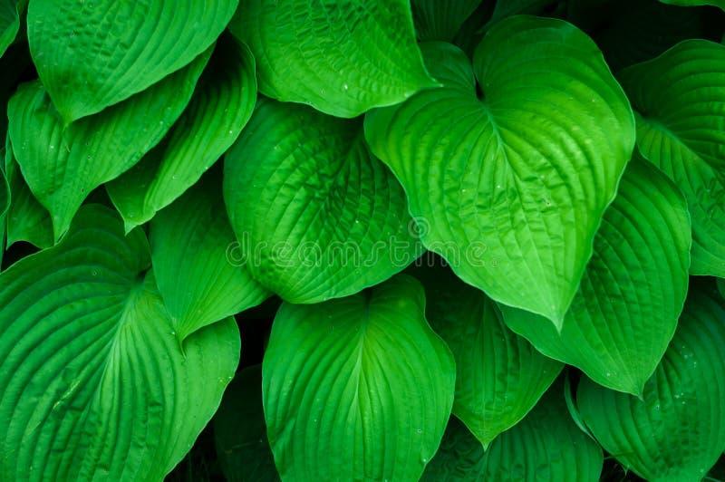 Hojas verdes foto de archivo libre de regalías