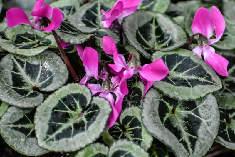 Hojas verdes abigarradas con las flores rosadas fotos de archivo