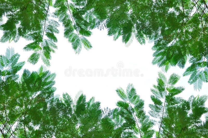 Hojas verdes aisladas en blanco