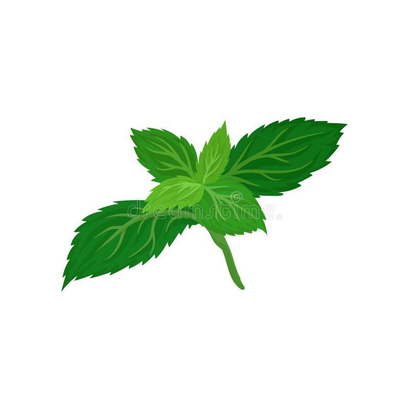 Hojas verdes claras de la menta fresca Hierba culinaria Elemento plano del vector para el empaquetado del alimento biológico o lo libre illustration