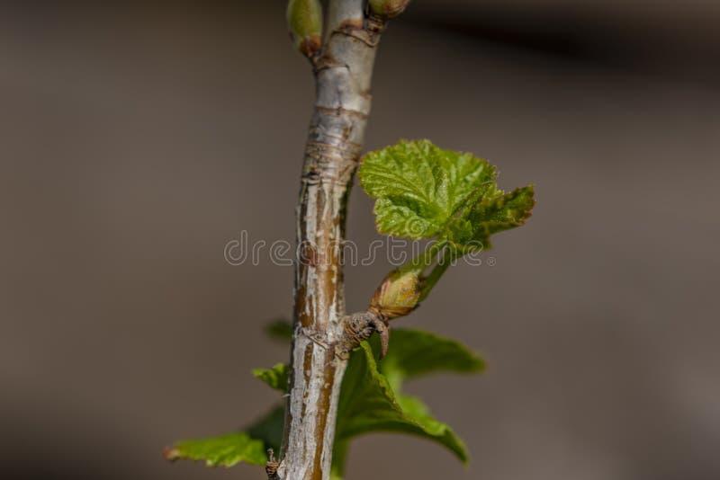 Hojas verdes claras frescas de la grosella negra en día de primavera soleado foto de archivo