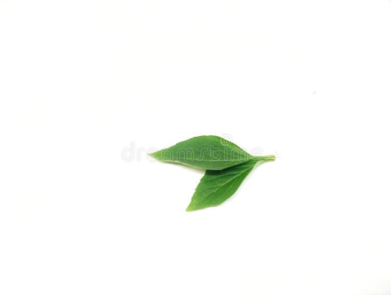 Hojas verdes de la albahaca en el fondo blanco foto de archivo