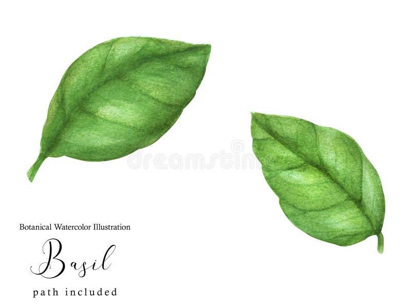 Hojas verdes de la albahaca stock de ilustración