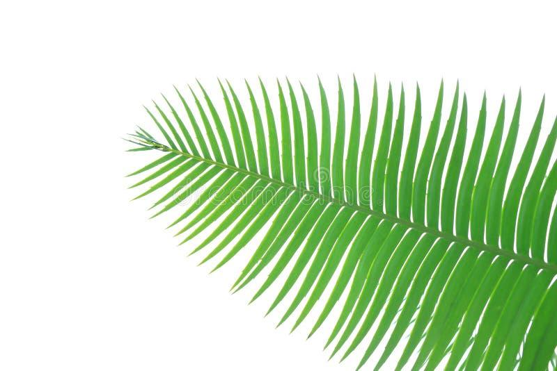 Hojas verdes de la palma de la goma o del tintóreo gigante del spinulosum de Dioon del dioon la planta tropical de la palma del c fotografía de archivo libre de regalías