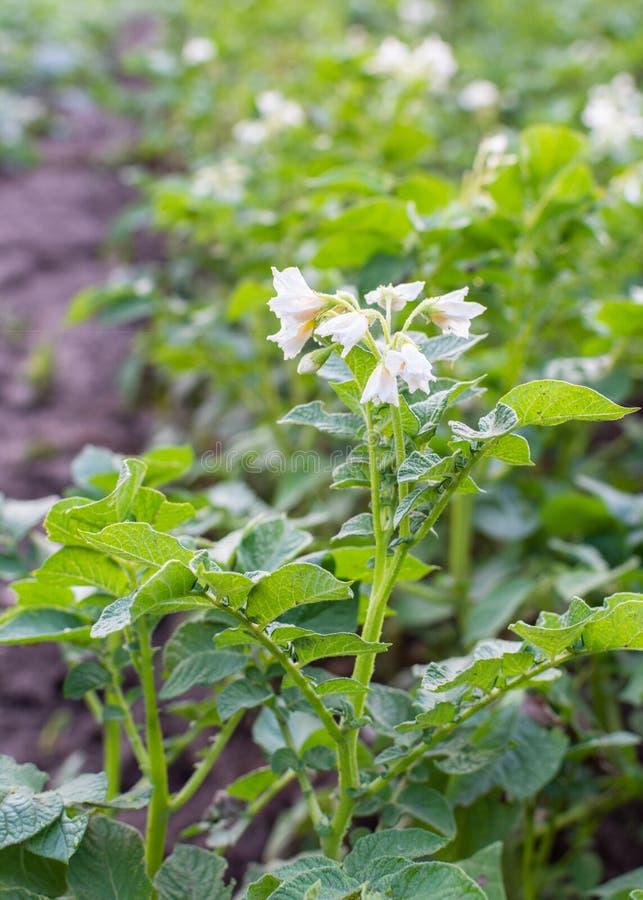 Hojas verdes de la patata con la inflorescencia imagenes de archivo