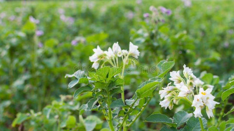 Hojas verdes de la patata con la inflorescencia fotos de archivo