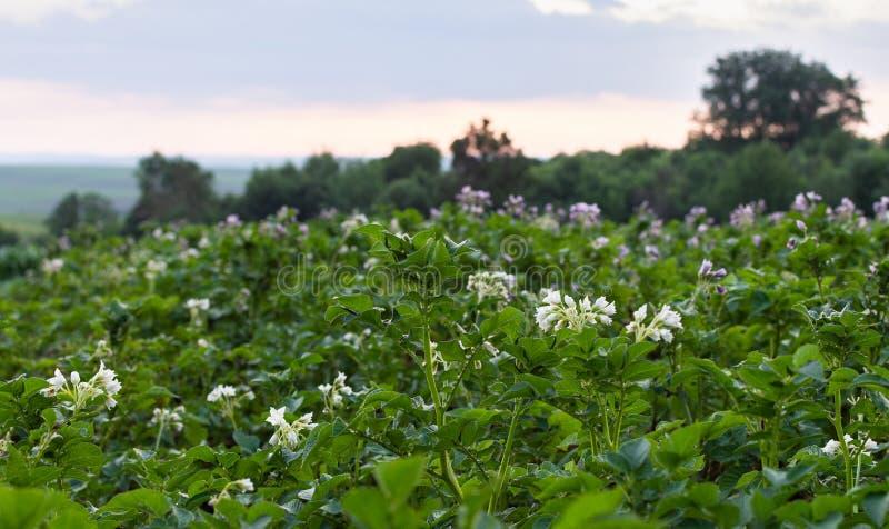 Hojas verdes de la patata con la inflorescencia fotografía de archivo