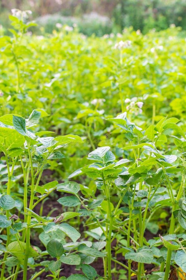 Hojas verdes de la patata con la inflorescencia fotos de archivo libres de regalías