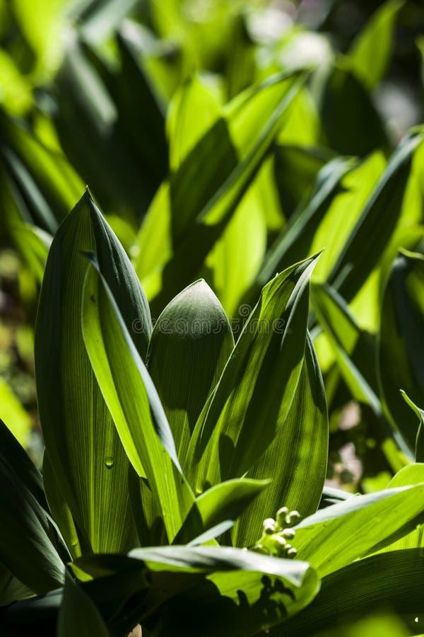 Hojas verdes de las flores del mughetto en el contraluz del sol - fotografía fotos de archivo