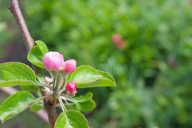 Hojas verdes de un manzano con un brote de flor en el fondo verde imagenes de archivo