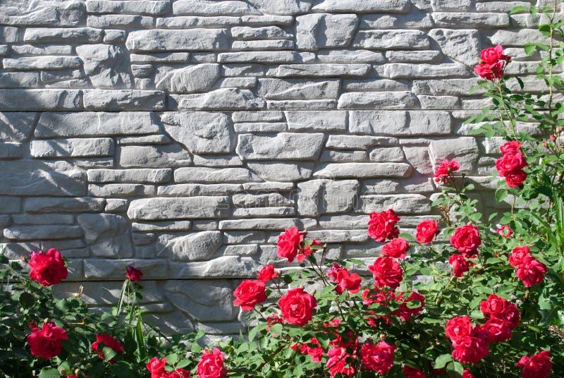Hojas verdes de una planta que sube y de flores de una rosa salvaje roja en un fondo gris de la pared de ladrillo fotografía de archivo libre de regalías