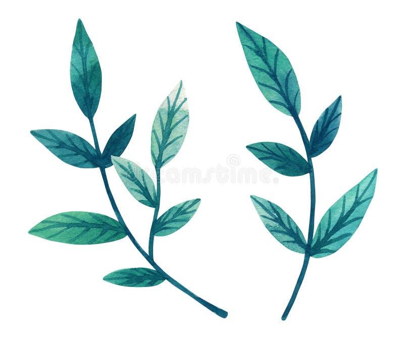 Hojas verdes decorativas en rama Ejemplo dibujado mano de la acuarela Aislado en el fondo blanco libre illustration