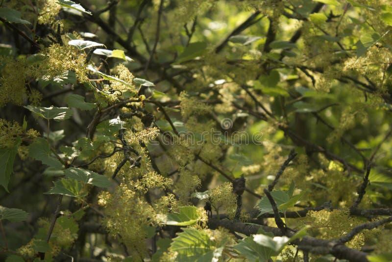 hojas verdes defocused y fondo floreciente de las flores, del verano o de la estación de primavera foto de archivo