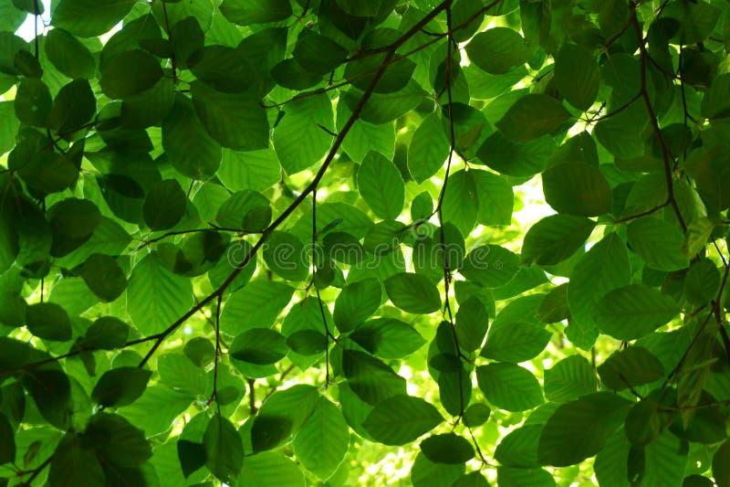 Hojas verdes del árbol de haya fotos de archivo