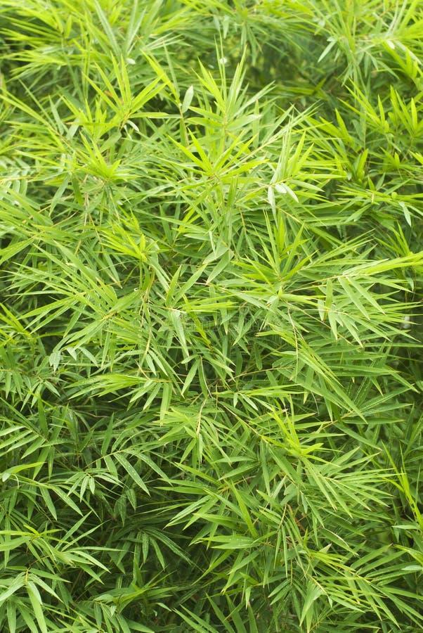 Hojas verdes del bambú foto de archivo