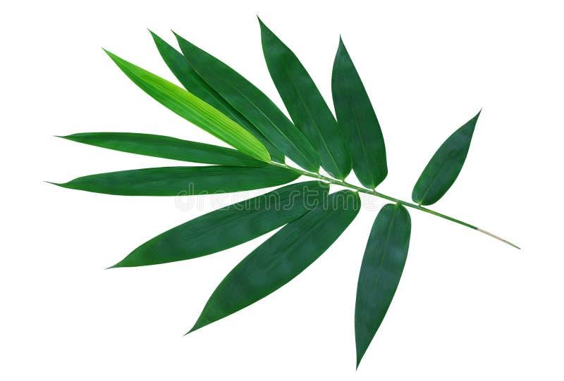 Hojas verdes del bambú aisladas en la trayectoria de recortes blanca del fondo imágenes de archivo libres de regalías