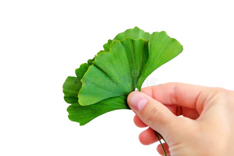 Hojas verdes del biloba del ginkgo a disposición Aislado en blanco fotos de archivo