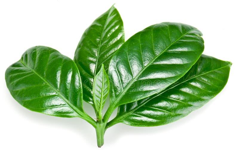 Hojas verdes del café. fotos de archivo libres de regalías