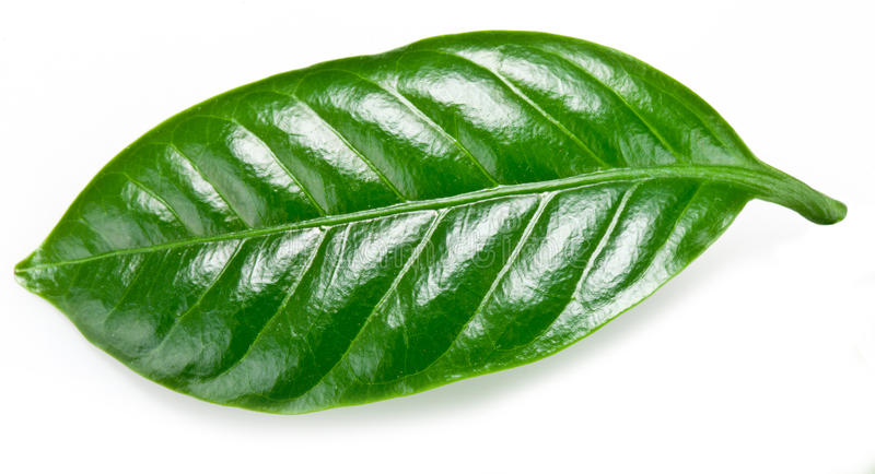 Hojas verdes del café. foto de archivo