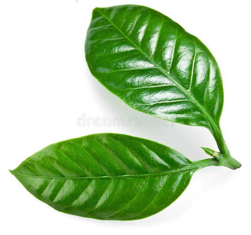 Hojas verdes del café. imagen de archivo libre de regalías