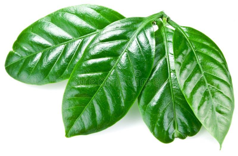 Hojas verdes del café. imagen de archivo