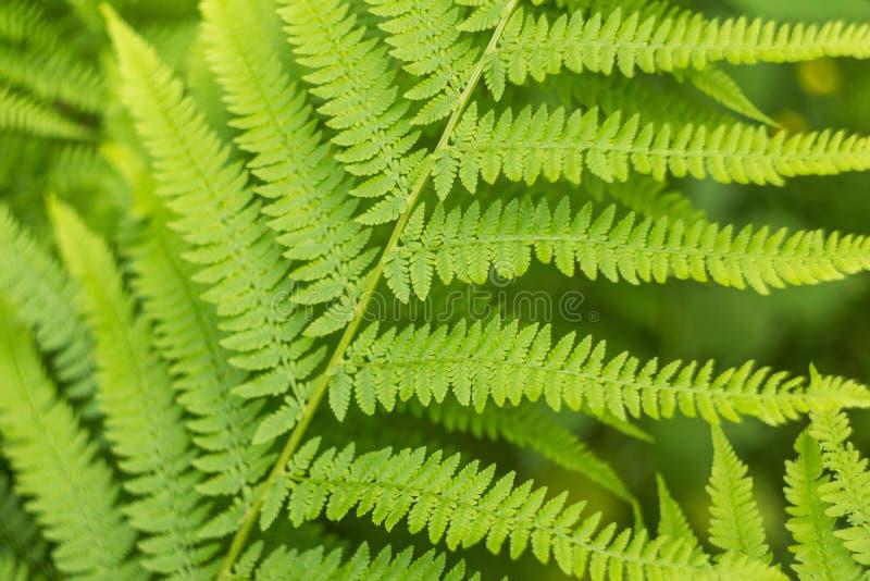 Hojas verdes del cierre del helecho para arriba, hoja verde del backgroundFresh abstracto natural de la macro del helecho, cierre fotos de archivo libres de regalías