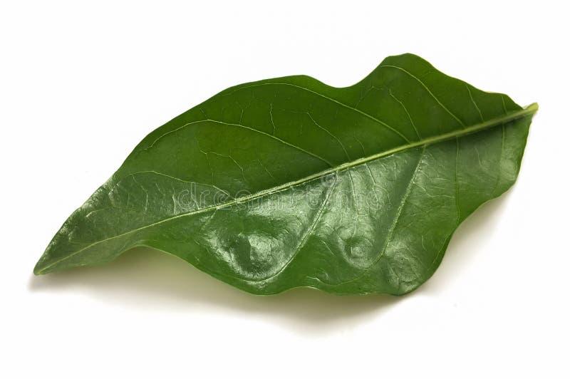 Hojas verdes del citrifolia del morinda en el fondo blanco imágenes de archivo libres de regalías