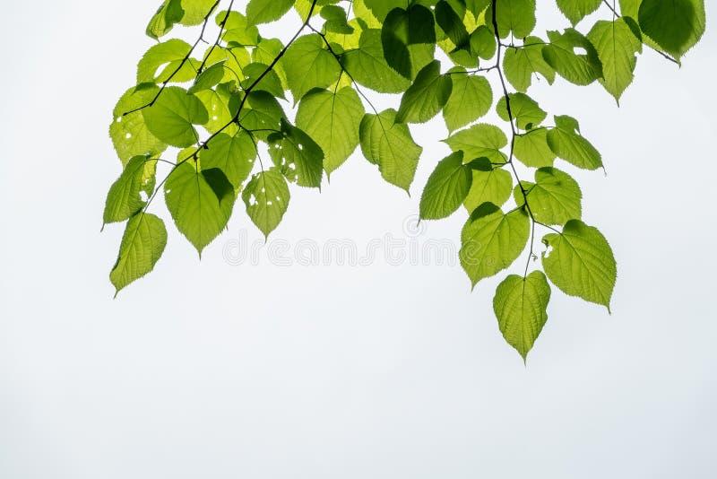Hojas verdes del dasystyla del Tilia del tilo en un fondo blanco imagen de archivo libre de regalías