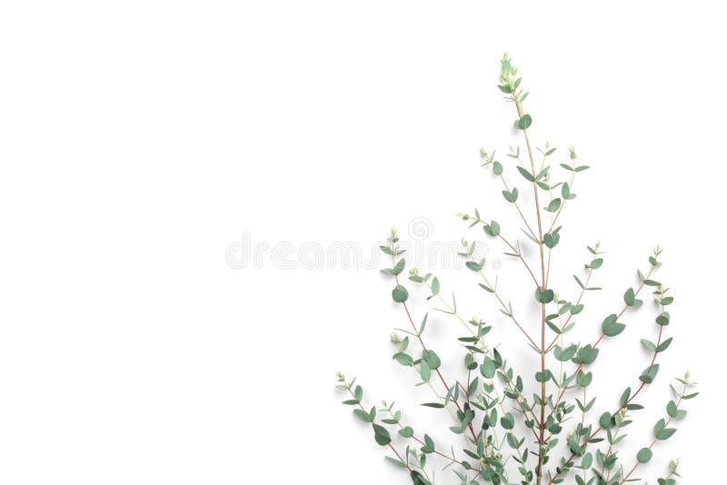 Hojas verdes del eucalipto en el fondo blanco Visión superior y estilo plano de la endecha imagen de archivo