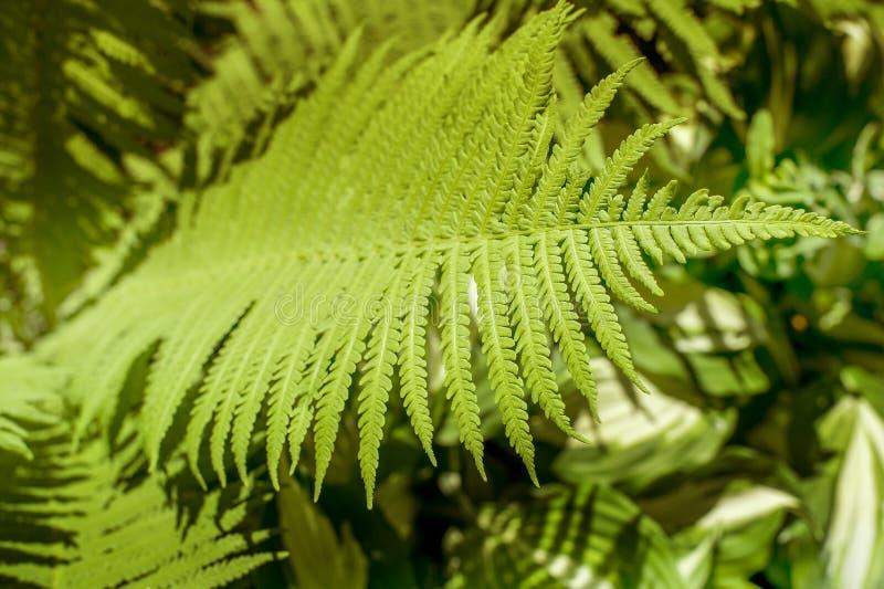 Hojas verdes del helecho imagen de archivo libre de regalías