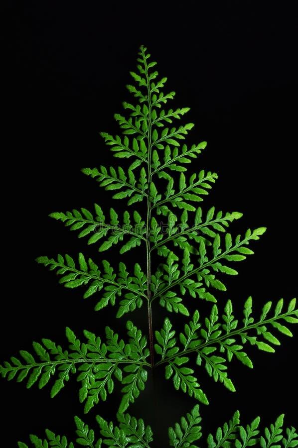 Hojas verdes del helecho en fondo negro fotografía de archivo libre de regalías