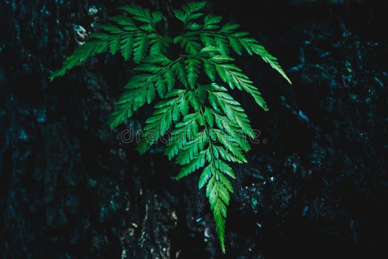 Hojas verdes del helecho en fondo oscuro fotos de archivo