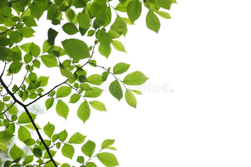 Hojas verdes del resorte en el fondo blanco fotografía de archivo libre de regalías