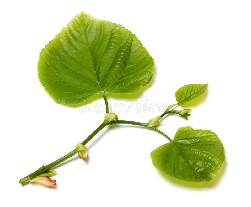 Hojas verdes del tilo-árbol en el fondo blanco fotografía de archivo