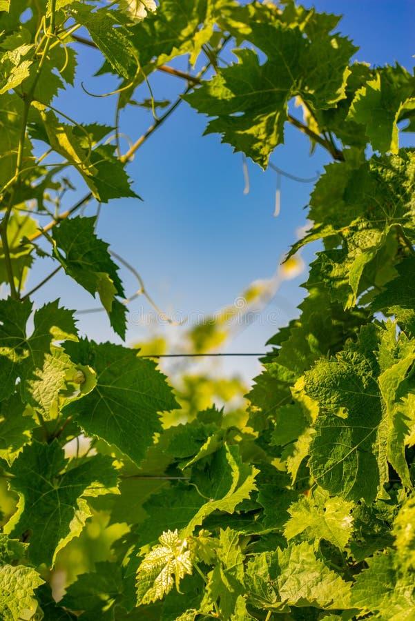 Hojas verdes del vino imagen de archivo libre de regalías