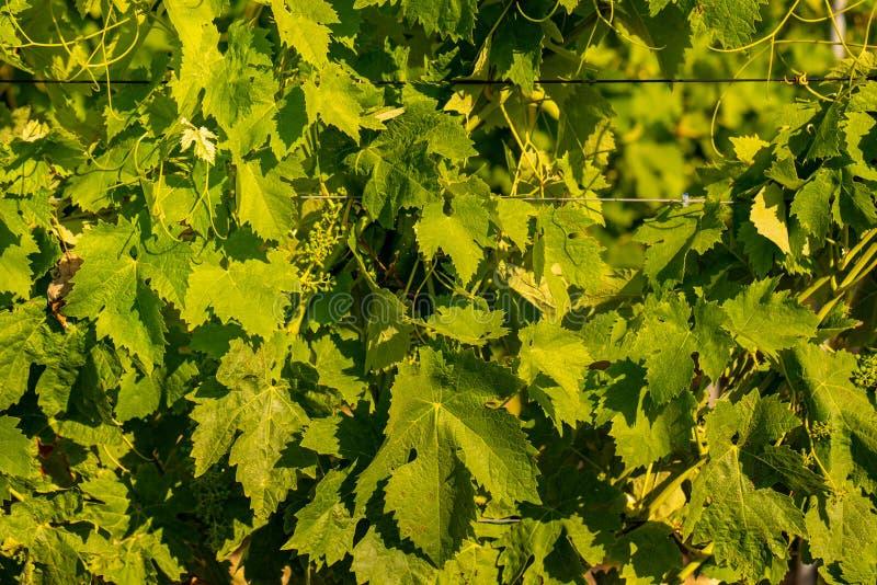 Hojas verdes del vino imagen de archivo