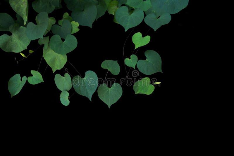 Hojas verdes en forma de corazón del obsc indeterminado del Ipomoea de la correhuela fotografía de archivo