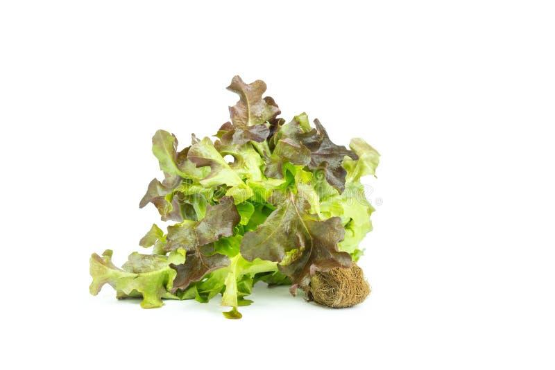 Hojas verdes frescas de la ensalada de la lechuga aisladas en el fondo blanco fotos de archivo libres de regalías