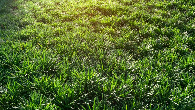 Hojas verdes frescas de la hierba o de la barba de las serpientes, planta de Mini Mondo de la cubierta de tierra bajo mañana anar foto de archivo libre de regalías
