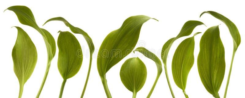 Hojas verdes frescas de la selva aisladas en blanco imagen de archivo libre de regalías