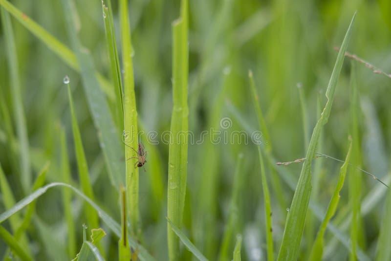 Hojas verdes frescas del arroz de Sukoharjo imagen de archivo