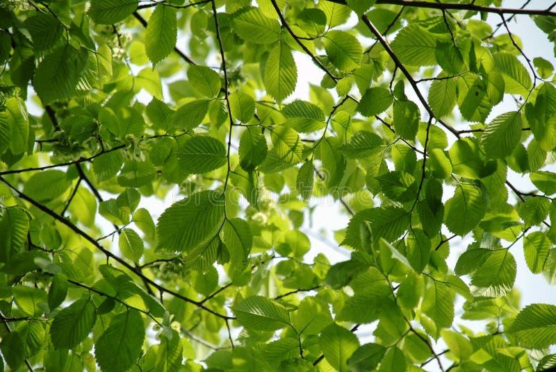 Hojas verdes frescas del olmo foto de archivo libre de regalías