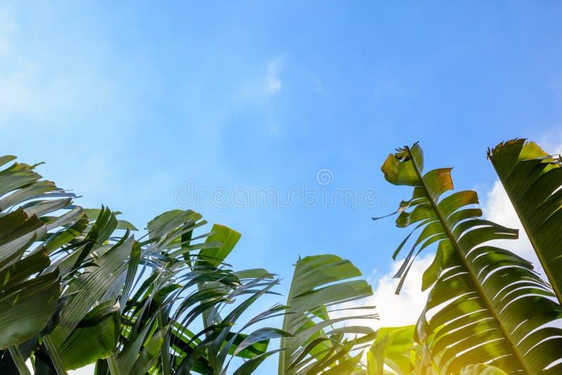 Hojas verdes grandes del plátano de la palmera exótica en sol en fondo del cielo azul fotografía de archivo