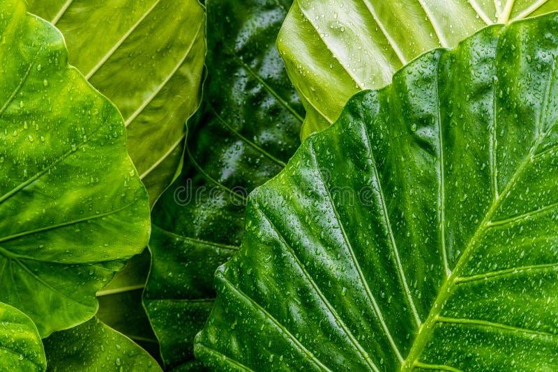 Hojas verdes grandes mojadas con las gotas de agua fotografía de archivo libre de regalías