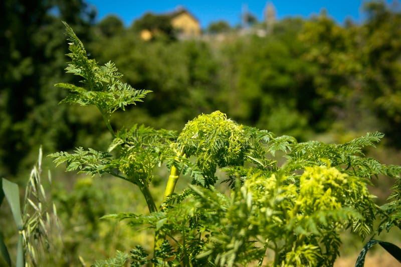 Hojas verdes hermosas de una planta con una casa del pueblo en fondo defocused foto de archivo